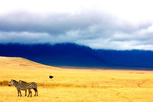 Zebras in the Ngnorongoro Crater