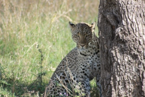 We waited for nearly 2 hours for this leopard to climb down the tree and face the paparazzi.