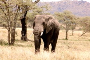 A bull elephant photographed in the Serengetti.