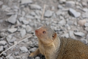 Dwarf mongoose begging for cake.
