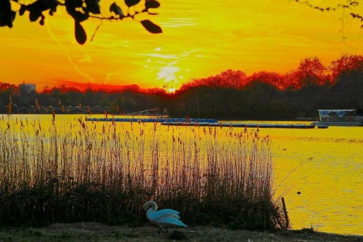 Swan, Hyde Park London