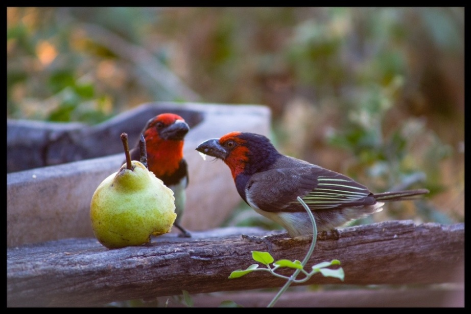 The staff at Delta Camp put fruit out for the birds to stop them raiding the breakfast table.