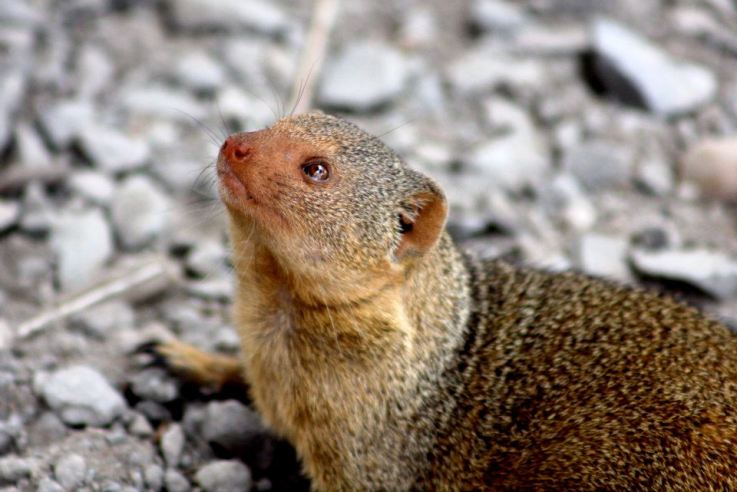 dwarf mongoose in Tanzania, by Jeff Corey